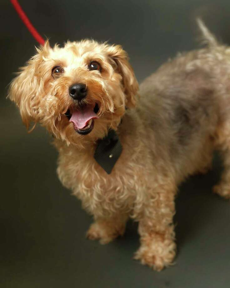 GORDO (Animal ID: A16240060) Gordo is a 7-year-old, neutered male Terrier mix and is available for adpotion from the Houston Humane Society.  Photographed Wednesday, Nov. 7, 2018, in Houston. Photo: Karen Warren, Staff Photographer / © 2018 Houston Chronicle