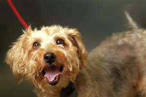 GORDO (Animal ID: A16240060) Gordo is a 7-year-old, neutered male Terrier mix and is available for adpotion from the Houston Humane Society.  Photographed Wednesday, Nov. 7, 2018, in Houston.