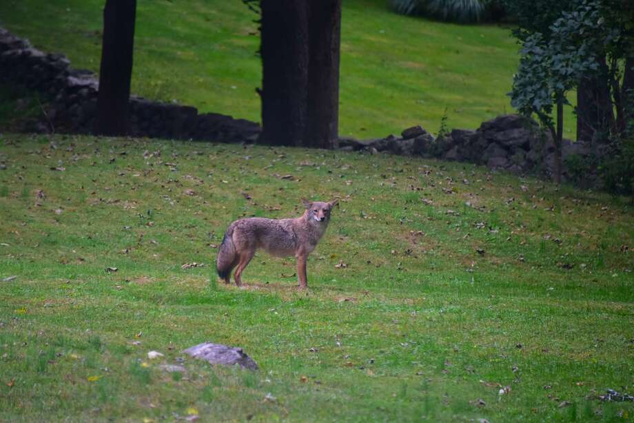 A coyote in New Canaan. Photo: Beth Shepherd Peters / Contributed Photo / Beth Shepherd Peters