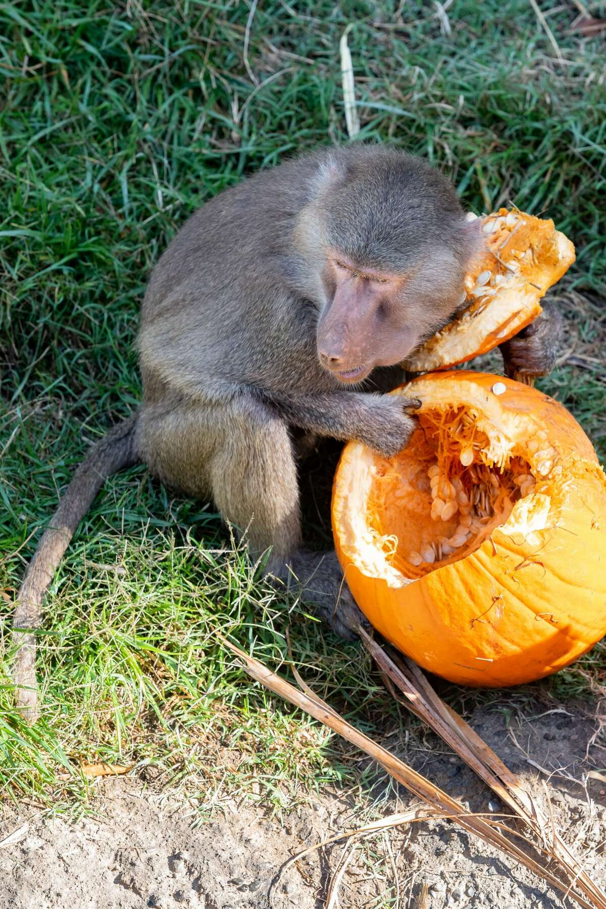 Baboons enjoyed pumpkins at the Oakland Zoo this month.