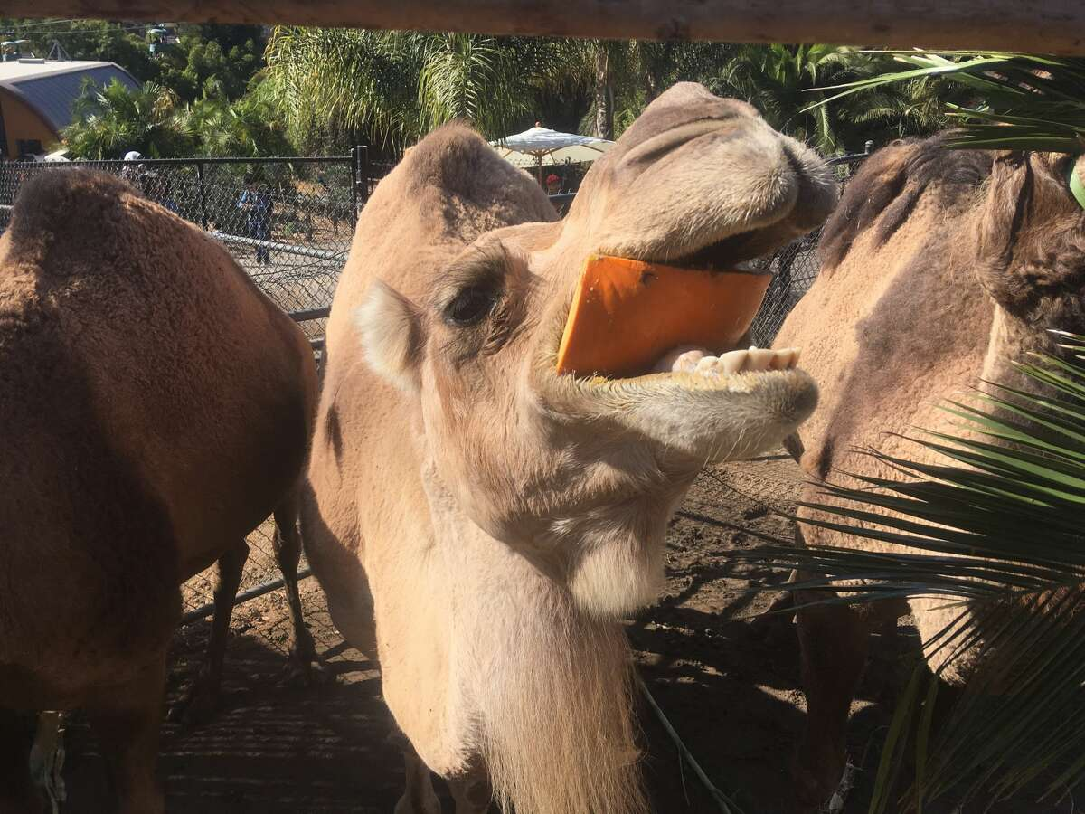 Sabah the camel enjoyed a pumpkin at the Oakland Zoo this month.
