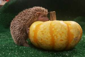 A tenrec enjoyed a pumpkin at the Oakland Zoo this month.