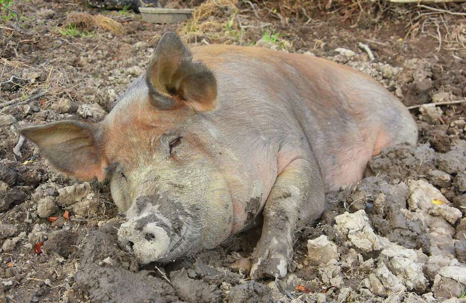 A pig taking a nap in the mud at a farm in Sand Lake, N.Y.  (Lori Van Buren/Times Union) Photo: Lori Van Buren / 20044359A