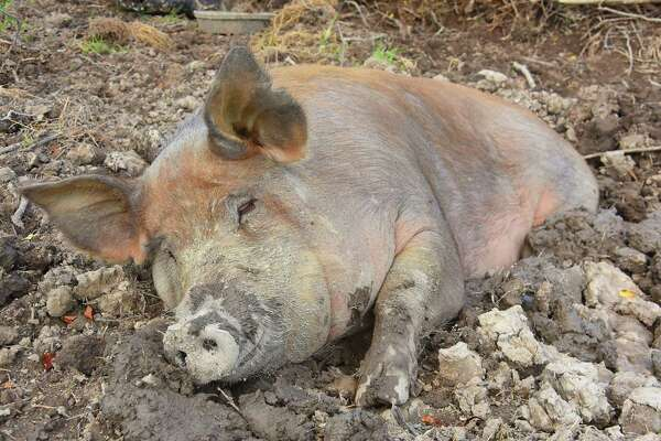 A pig taking a nap in the mud at a farm in Sand Lake, N.Y. (Lori Van Buren/Times Union)