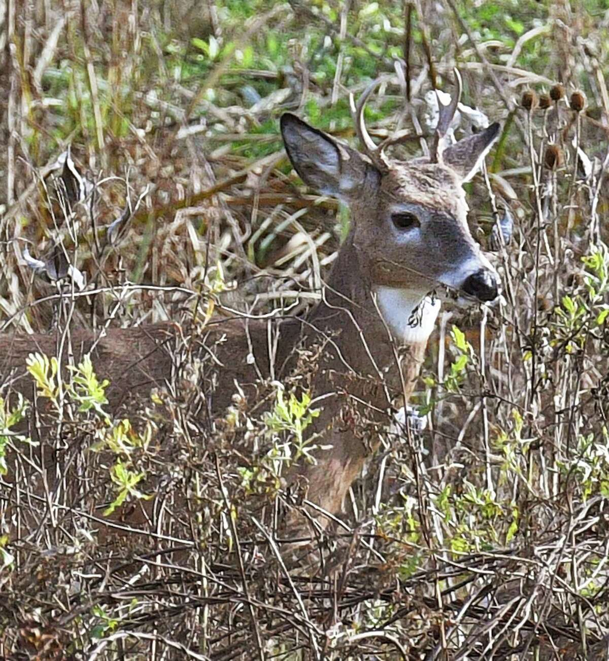 A white-tailed deer buck watches traffic from cover along Route 787 Wednesday Nov. 7, 2018 in Menands, NY.(John Carl D'Annibale/Times Union)