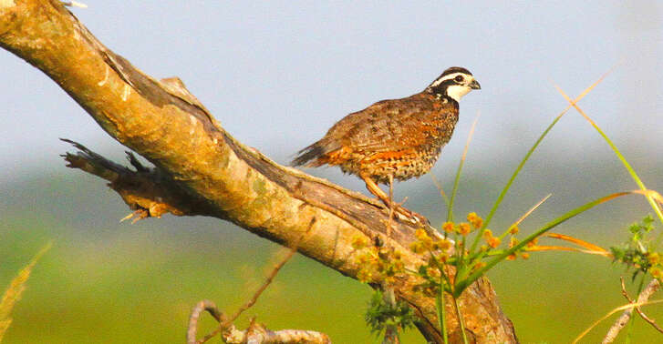 After beneficial habitat conditions triggered a surge in bobwhite populations across most of Texas' best remaining quail range earlier this decade, quail numbers tumbled this year as drought and deteriorating habitat took a toll on the ground-nesting game birds.