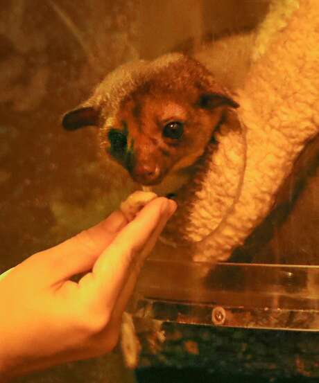 Kimberly Ludwig, Houston Zoo Keeper gives a snack to Kirby, a kinkajou, Thursday, Nov. 8, 2018, in Houston. Kirby came to the Houston Zoo earlier this year after being found off of Kirby Drive near NRG Stadium. Photo: Steve Gonzales/Staff Photographer
