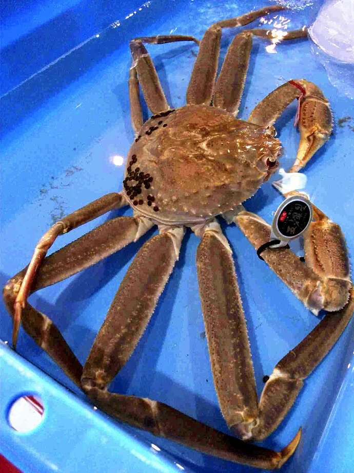 The snow crab that fetched a record amount in Tottori, Japan, is seen at Tottori Port. Photo: The Japan News-Yomiuri / The Japan News-Yomiuri