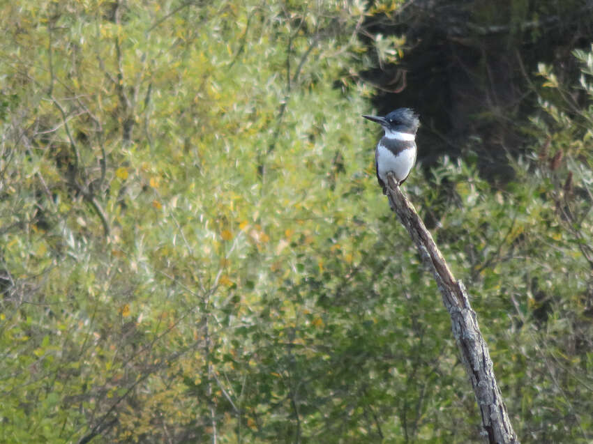 A kingfisher in Wood Duck Marsh at the Five Rivers Environmental Center. (Herb Terns / Times Union)