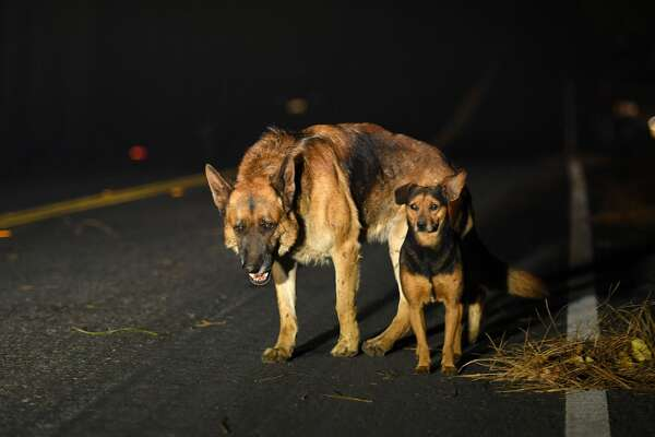 Dogs roam burned out neighborhoods as the Camp fire tears through Paradise, north of Sacramento, California on November 08, 2018. - More than one hundred homes, a hospital, a Safeway store and scores of other structures have burned in the area and the fire shows no signs of slowing. (Photo by Josh Edelson / AFP) (Photo credit should read JOSH EDELSON/AFP/Getty Images)