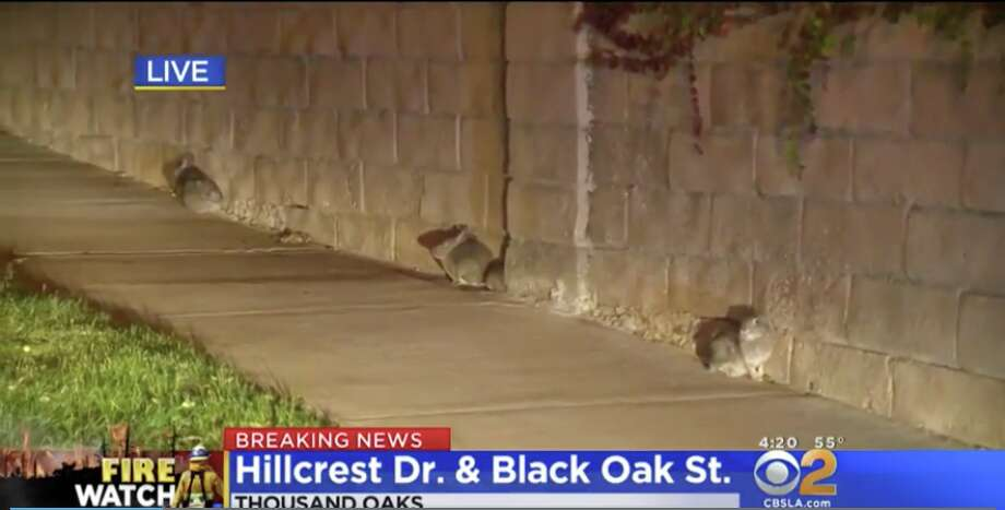 A group of wild rabbits were forced to flee their habitats and enter the city of Thousand Oaks as the Woosley Fire continued to spread. Photo: CBS2