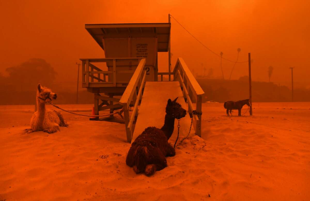 Llamas are tied to a lifeguard stand on the beach in Malibu as the Woolsey Fire comes down the hill.