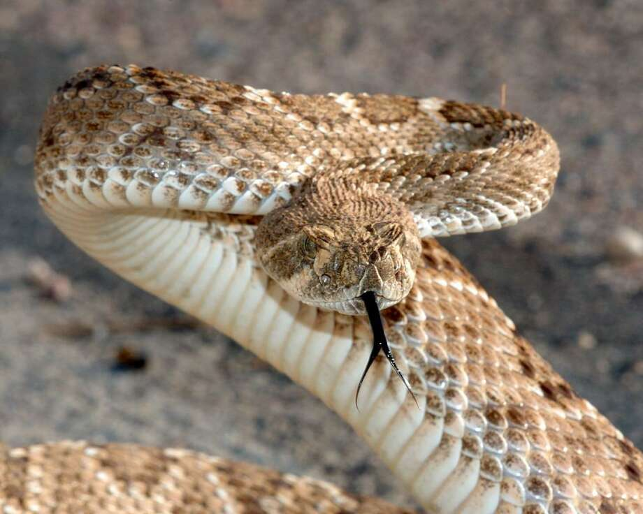 "A Texas homeowner who reported seeing ""a few"" snakes under his home actually had dozens of rattlesnakes living beneath his house. Photo: TWRC"