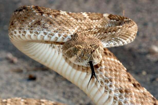 Bullsnakes are fairly common throughout the United States and are probably best known for their ability to mimic the dreaded rattlesnake, shown here.