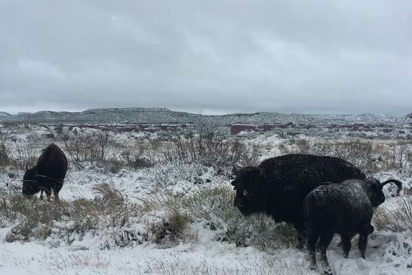 Snow blankets bison and scenery in the Caprock Canyons State Park on Monday, Nov. 12, 2018.