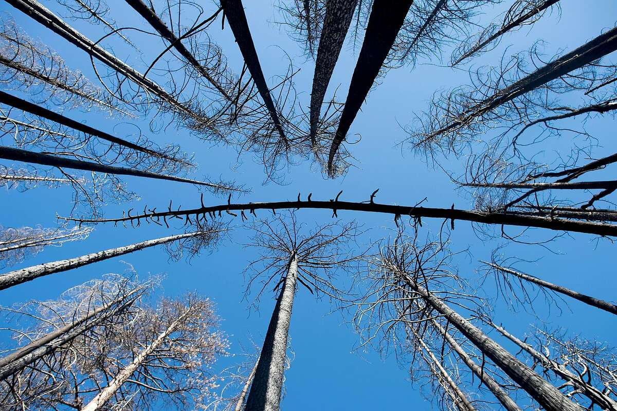 FILE -- Standing dead trees, called snags, in an area burned in the Rim Fire in California, July 7, 2016. A scientific debate is intensifying over whether too much money and too many lives are lost fighting forest fires, which biologists say are beneficial to hundreds of plants and animals. (Noah Berger/The New York Times)