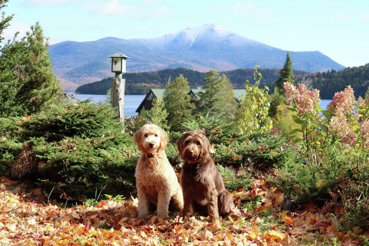 Pearl, a year-old goldendoodle, and Bailey, a four-year-old labradoodle, enjoy regular hikes around Lake Placid, say their companions Mark and Amanda Pyskadlo of Guilderland. Here they are Oct. 14 at the Whiteface Club and Resort with a snow topped Whiteface Mountain in the background.