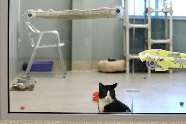 Thor is one the cats at Mohawk Hudson Humane Society who was viewable on the Kitty Cam, which gives online viewers a peek inside their community cat room, on Tuesday, May 8, 2018, in Menands, N.Y. (Will Waldron/Times Union)