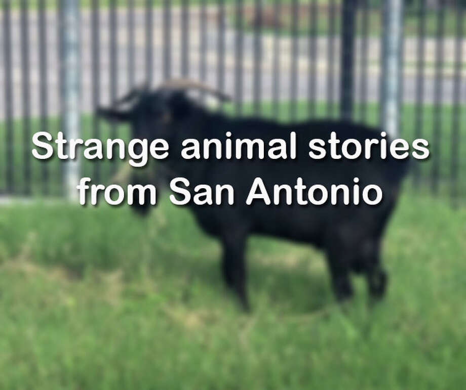 Click through for a roundup of escapes, bites and other strange animal tales from the San Antonio area. Photo: Photo: Photo Courtesy Of Animal Care Services