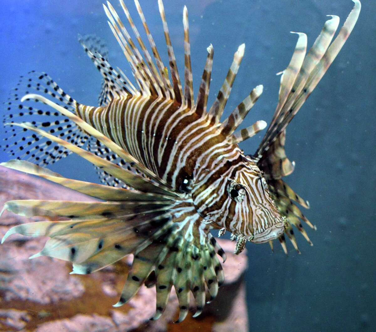 One of the lionfish on display at the Texas State Aquarium in Corpus Christi in February 2016. At the time, the aquarium was expanding its exhibit of the venomous invader whose numerous spines can cause painful stings.