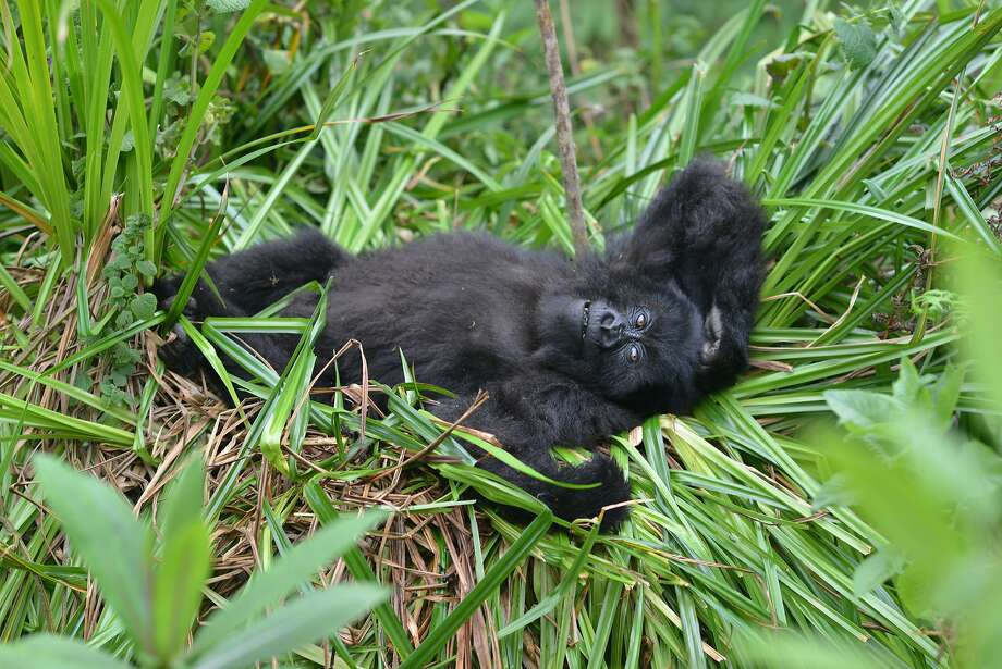 A young mountain gorilla named Fasha lies in the grass in Rwanda's Volcanoes National Park in 2016. Photo: Dian Fossey Gorilla Fund 2016