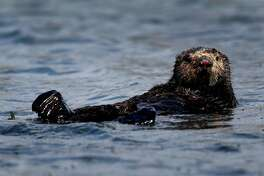 A sea otter floats on the surface of Elkhorn Slough in Moss Landing, Calif. on Thursday, April 12, 2018. Marine biologists from the Monterey Bay Aquarium have observed that sea otters rehabilitated and released into Elkhorn Slough has helped restore eel grass beds and the ecosystem.