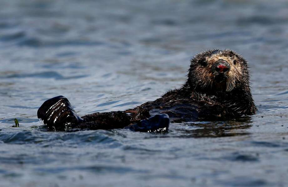 A sea otter floats on the surface of Elkhorn Slough in Moss Landing. Photo: Paul Chinn / The Chronicle