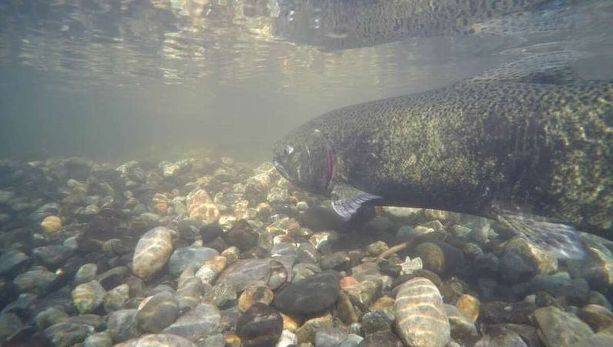 File photo of a chinook salmon Keep clicking for file photos of chum salmon returning to Pipers Creek.