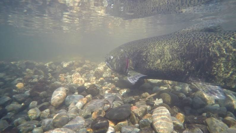 2019 salmon population forecast: It doesn't look good