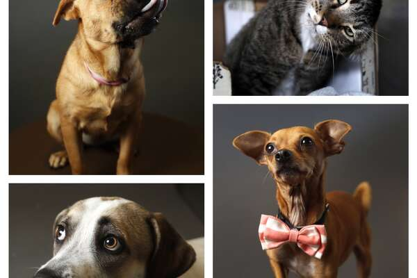 Animals available for adoption from BARC Animal Shelter. Photographed, Wednesday, Nov. 14, 2018, in Houston.