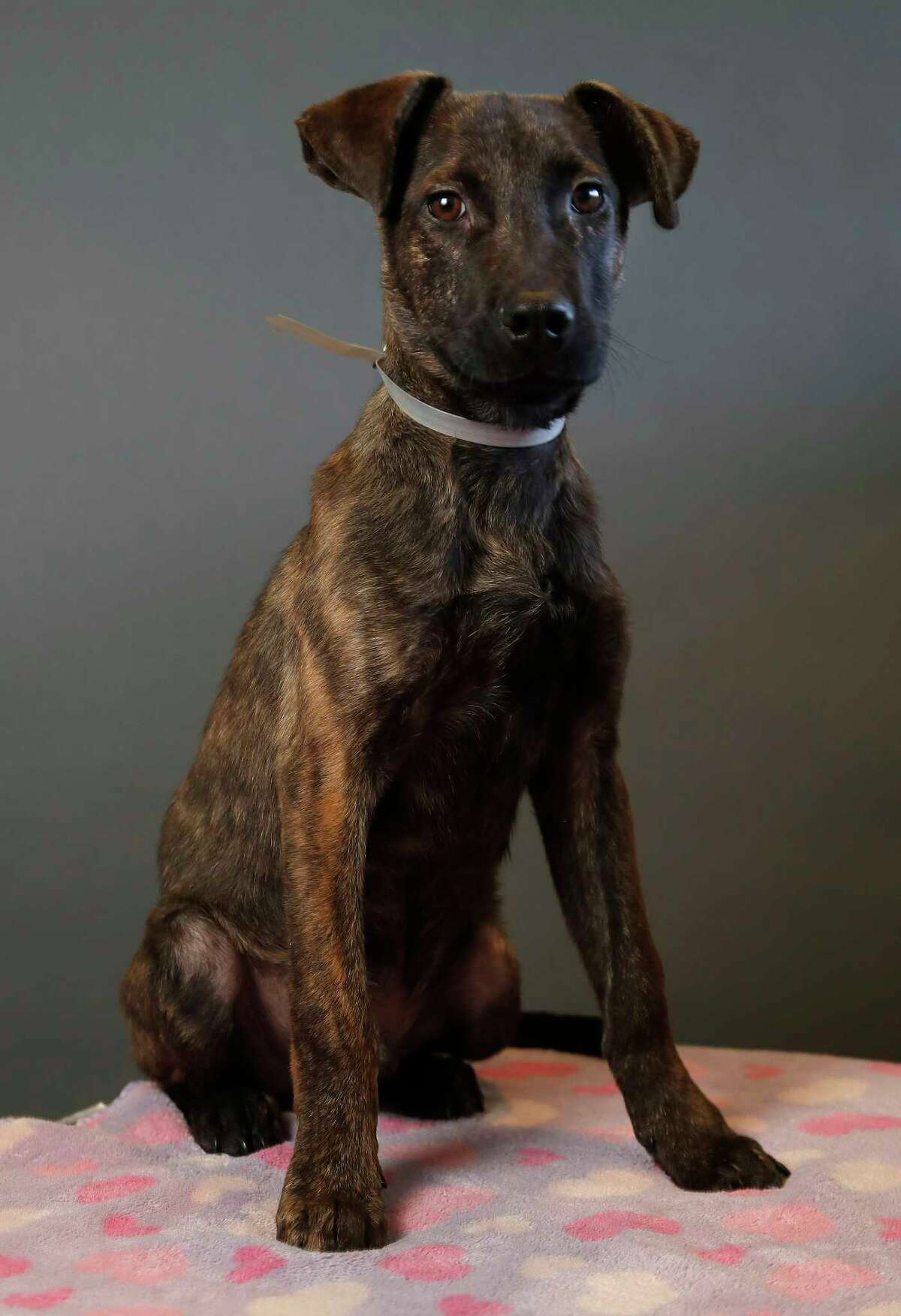 ADRIAN (Animal ID: A1592803) Adrian is a 4-month-old, neutered male, brindle Plott Hound/Dutch Shepherd mix and is available for adoption from BARC Animal Shelter. Photographed, Wednesday, Nov. 14, 2018, in Houston.