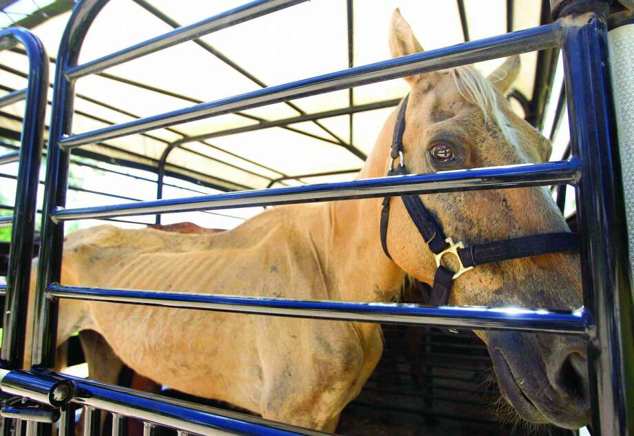 Houston SPCA volunteers transport the most critical horses in need of veterinary care from Calico Dairy  in Montgomery County on Thursday, June 25, 2015 Photo: Jason Fochtman