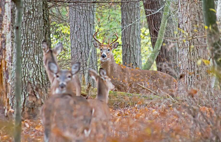 These white-tail deer were recently spotted in a patch of woods near Caseville. Today is opening day for the state's regular firearm deer season. Photo: Bill Diller/For The Tribune