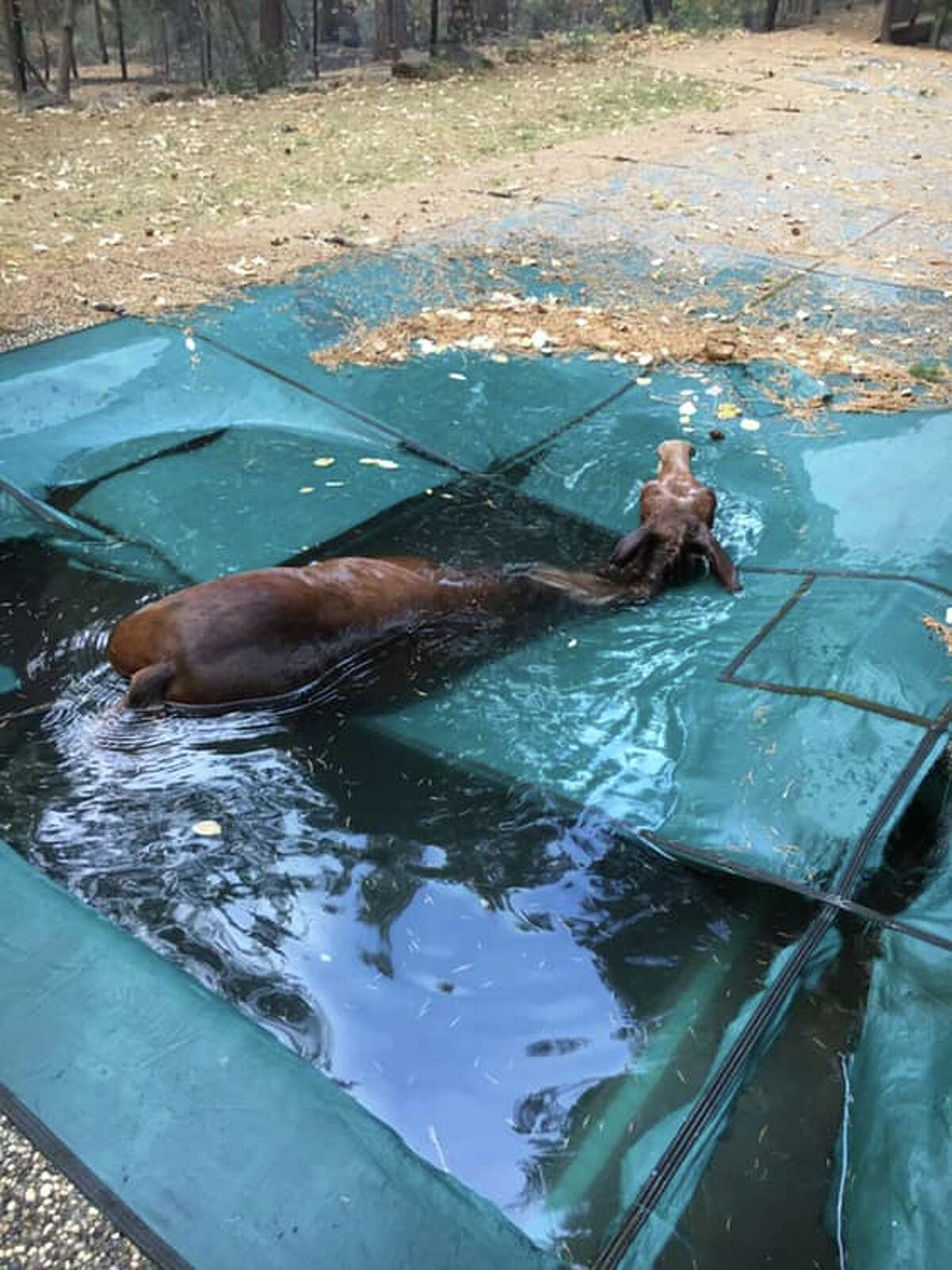 Jeff Hill and Geoff Sheldon rescue a horse they found in a backyard pool in Paradise. The horse was stranded in the water for an unknown amount of time when Hill and Sheldon found it Sunday.