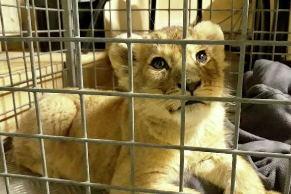 Police in Paris found this lion cub in a rented Lamborghini on the Champs-Elysees.