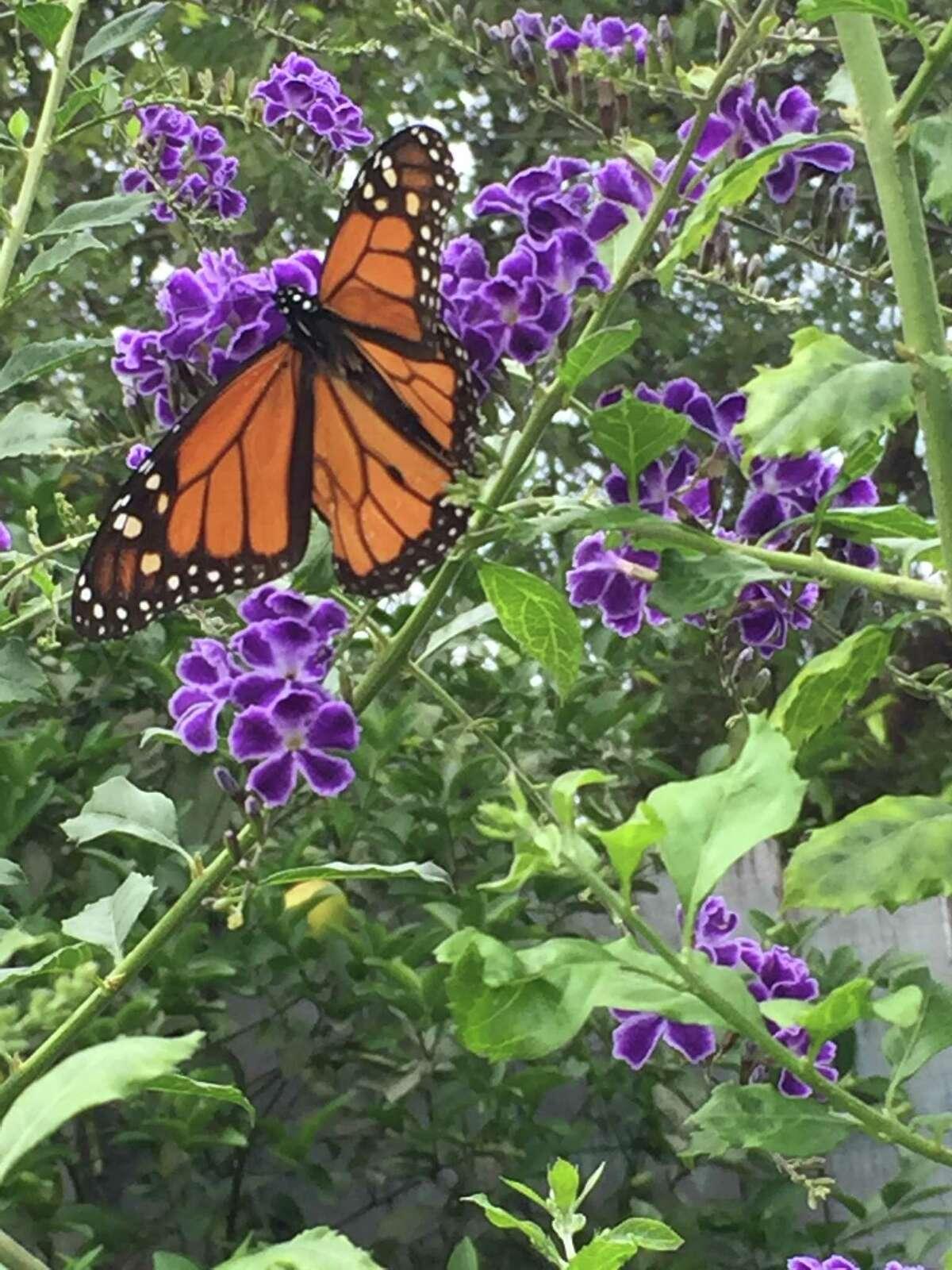 Duranta is popular with butterflies.