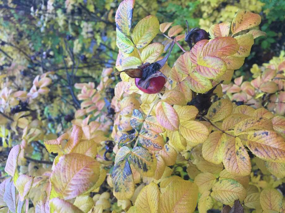 A rosa rugosa hip seen on a rainy fall day by Brian Knowles of Halfmoon.