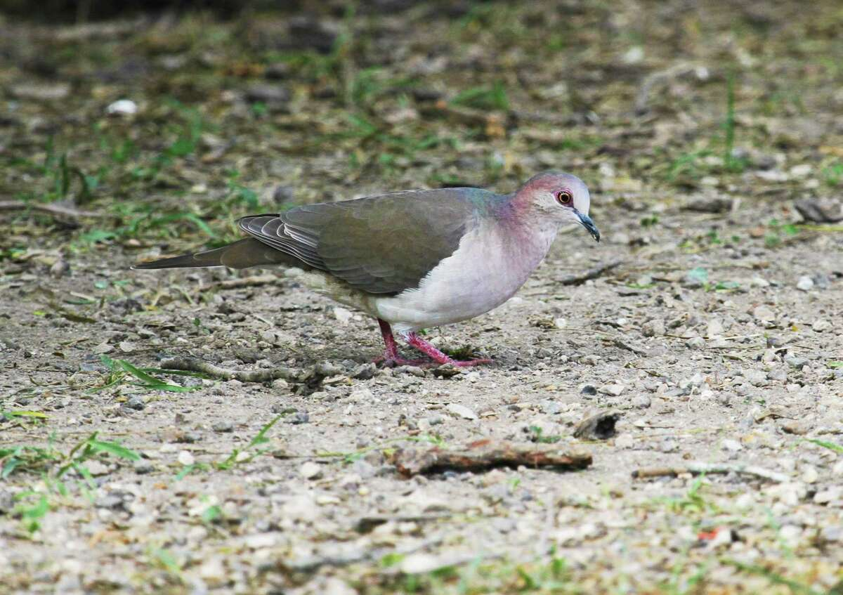 White-tipped doves, found in the United States only in and adjacent to the Rio Grande Valley, are one of the often little-known or recognized upland game birds that give Texas wingshooters perhaps the most diversity in the nation.