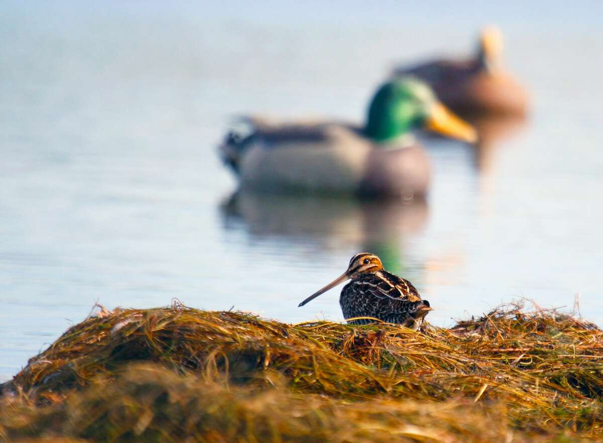 Wilson's snipe are a bird of shallow wetlands, and wingshooters often can find concentrations of this challenging member of Texas' wonderfully diverse game bird assortment in the same general areas where they hunt waterfowl.