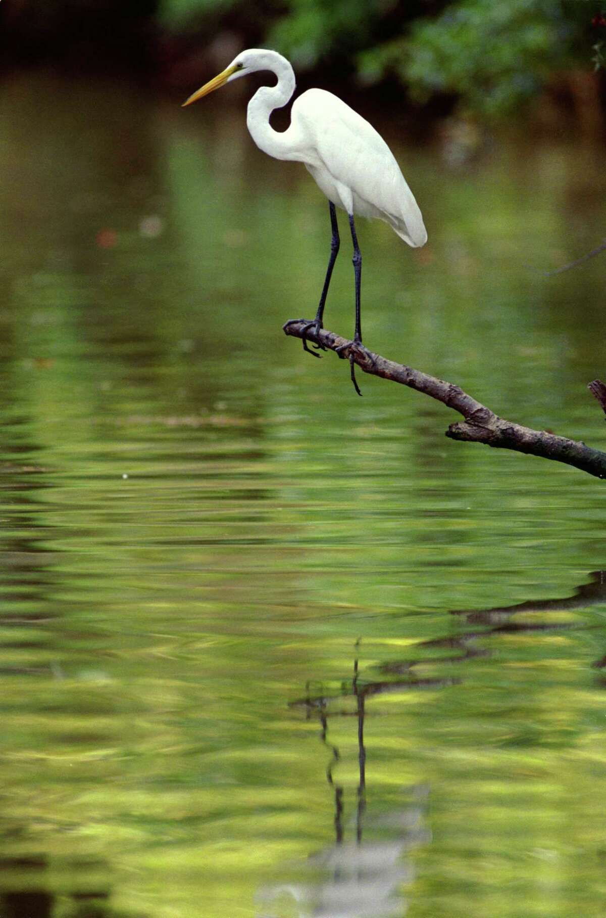 An egret using a branch for a vantage point maintains his balance while nabbing a fish for lunch along Clear Creek.