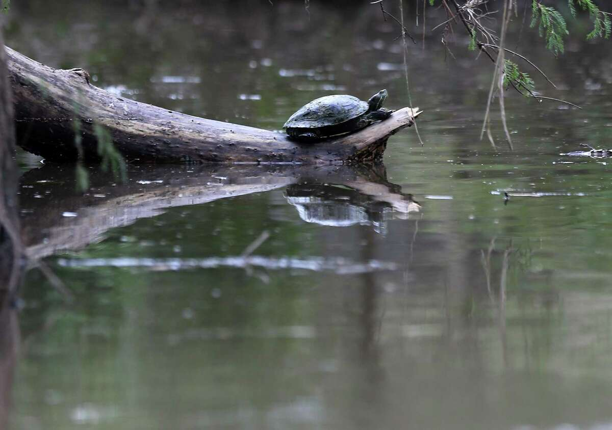 A turtle takes in some sun on the banks of Buffalo Bayou.