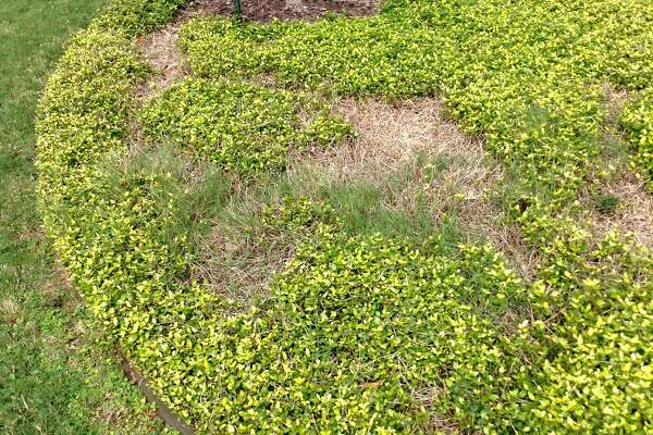 This looks like old damage, and it?'s exactly what Asian jasmine looks like when drought has killed out part of a planting.