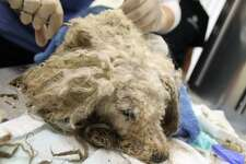 The Humane Society of the United States is offering a $5,000 reward for information leading to the person or people responsible for the death of Hope, a poodle found starving in a San Antonio alley. The 8-year-old poodle was found jaundiced and cold in an alley, in the 5800 block of Babcock Road, with heavily matted fur and mold on her body. She eventually died.