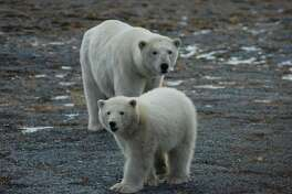 Researchers spotted this polar bear mother and cub in 2017 on Wrangel Island in the Chukchi Sea.