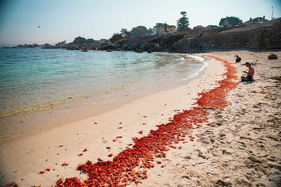 Thousands of Pelagic red crabs washed up on a Monterey County beach this week. Scientists say it's a strong indicator of an El Nino winter to come. Photo: Monterey Bay Aquarium