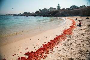 Thousands of Pelagic red crabs washed up on a Monterey County beach this week. Scientists say it's a strong indicator of an El Nino winter to come.