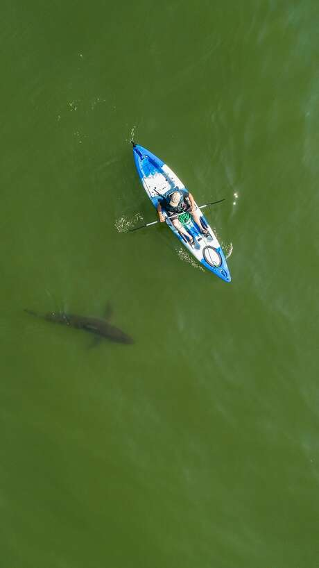 Kayaker Eric Mailander is seen near a shark on Wednesday, Aug. 15, 2018 off the coast of Aptos, Calif.