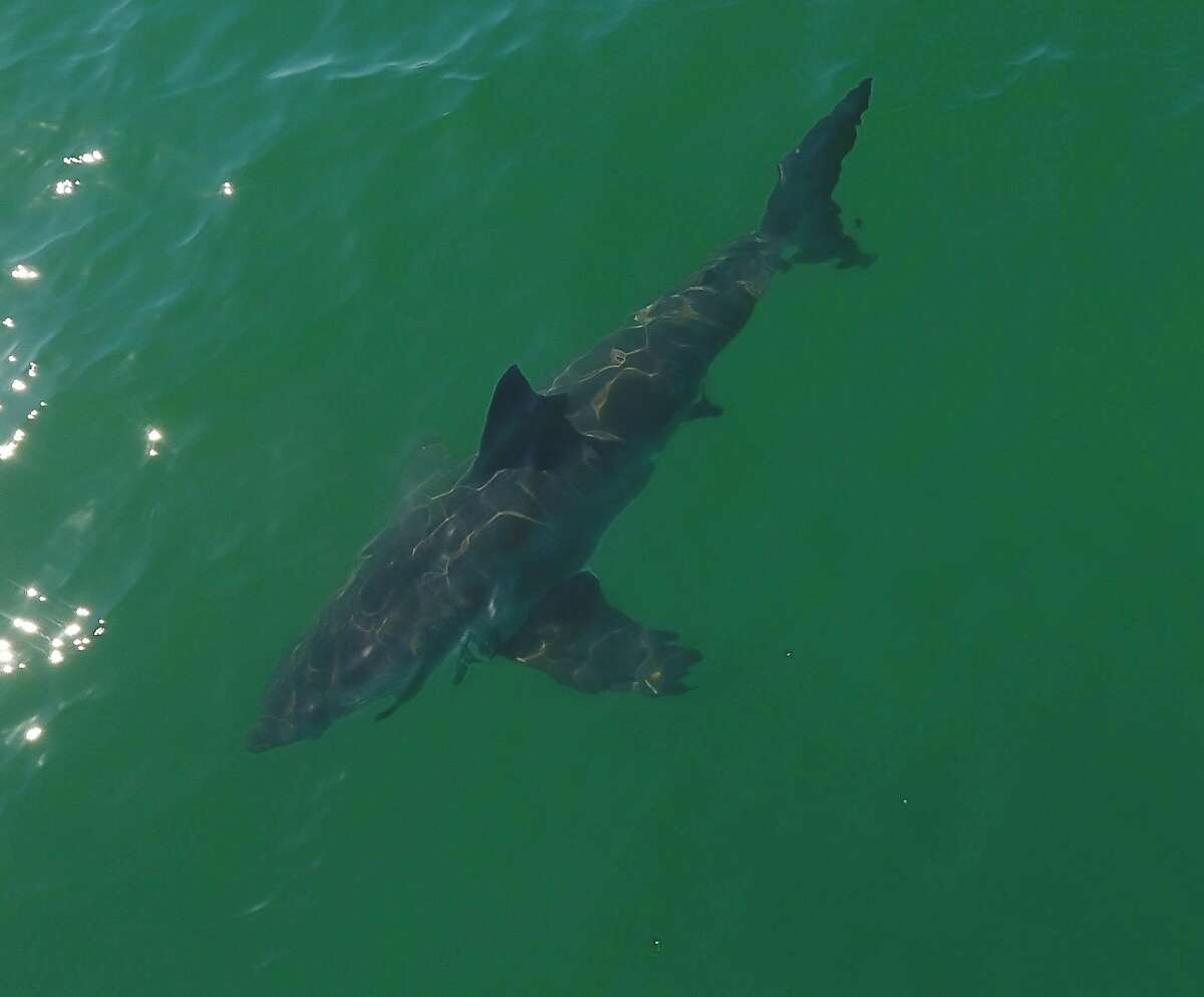 Tourists watch a white shark in the shallows at Soquel Cove off the coast of Aptos.