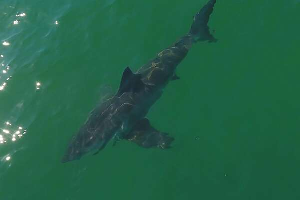 Great white sharks show up in huge numbers along the coast