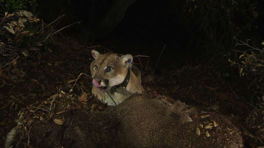 Mountain lion P-22 was unaccounted for after the Woolsey Fire but has since been located. Click through the gallery to see photos that show the fire's impact. Photo: Santa Monica Mountains NRA